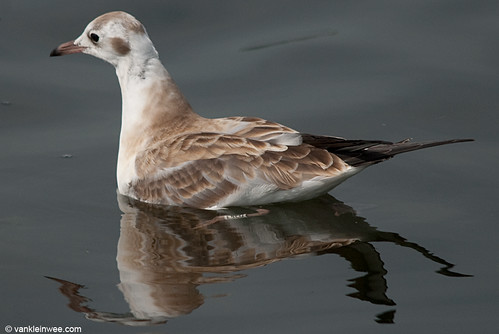 Black-headed Gull, juvenile W[E5LU]
