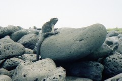 910223 King of the Castle (rona.h) Tags: galapagos iguana sancristobal 1991 february cacique marineiguana ronah