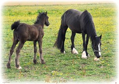 Jen and Bel. 9th July 2010. (kensaiger) Tags: animals only hg picnik horsefoalgrassflowersyellowturniptailwhiteblackgreenfeatherhaltermane