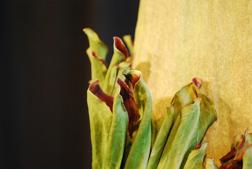 7.10.10 Amorphophallus titanum