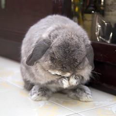 *licks* where is my ear?! (jade_c) Tags: pet rabbit bunny animal mammal singapore opal  hollandlop andora   lagomorph opalhollandlop