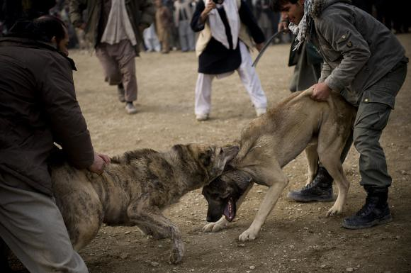afghan dog fighting