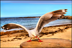 Spread Your Wings (Shannon Rogers Photography) Tags: seascape bird beach photoshop canon amazing wings sand flickr seagull awesome sigma australia