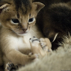 One of the Ruddies 3 (peter_hasselbom) Tags: cats cat foot daylight paw kitten kittens belly tummy abyssinian iso1600 desaturate 105mm ruddy 3weeksold cc100 18daysold ontheback grainwater
