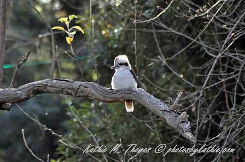 Young kookaburra backlit by sun