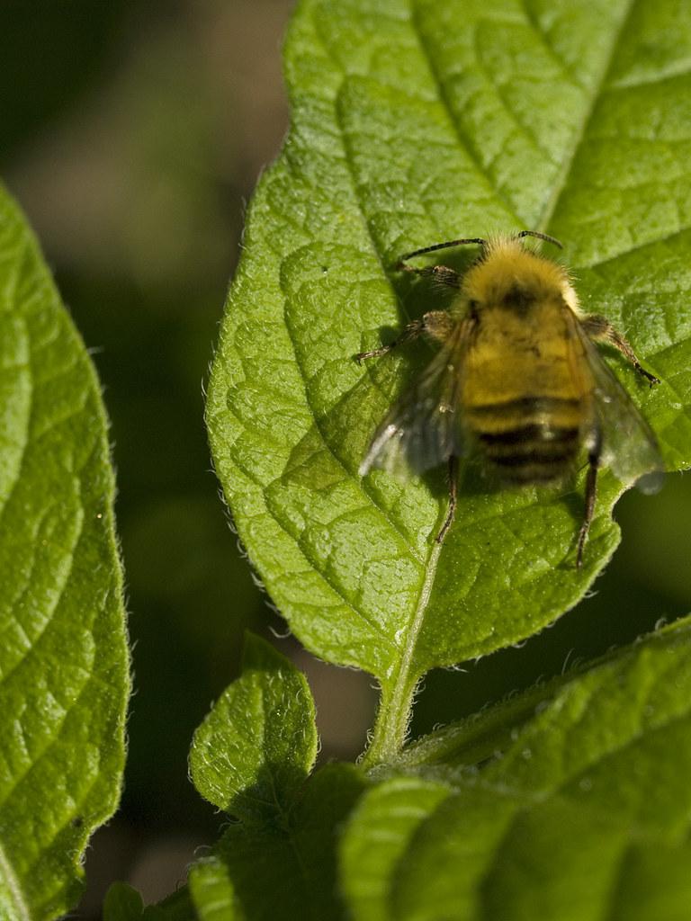Bee on a leaf