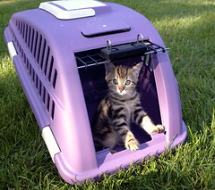 Kitten in a purple cat carrier