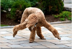 Break Dancing 28/52 (Perry McKenna) Tags: dog canon canine explore spoo breakdancing pretzel standardpoodle 85mmf18 redpoodle abigfave naturewatcher canon7d 52weeksfordogs aperture3 noblurbutlotsofmotion agreatlens week28already