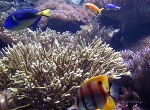 Corals and undersea flora and fauna including colourful ornamental fishes