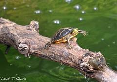Hi!!!! (Legacy Images) Tags: trees summer lake west water earthquake turtle tennessee swamp cypress westtennessee reelfootlake tiptonville tennesseestateparks reelfootlakestatepark