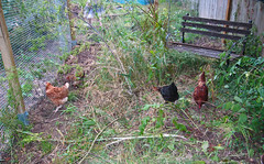 Garden/Chicken Run - July 2010