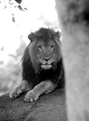 Daddy Lion-B&W (33Tazz) Tags: tom zoo indianapolis lion schoon flickrbigcats