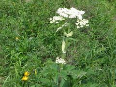 Flowers on Tubal Cain trail.