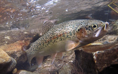 cutthroat underwater north fork (houstonryan) Tags: fish canon photography fly utah fishing fisherman underwater ryan north houston fork canyon photograph american flyfishing trout bonneville cutthroat flyfish d10 caddis houstonryan