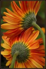 Gerbera jamesonii (photo.muse (Rachel)) Tags: orange flower macro yellow canon gerbera daisy gerber gerberdaisy