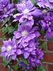 My Garden (rachelj1968) Tags: flowers clematis climbers raymondevisonclematis