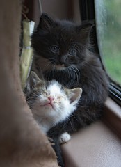 Captured ... Kittens (Chriss Pagani) Tags: saved rescue cats cute sweet adorable kittens tuxedo feral