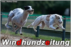 Greyhounds aus Holland