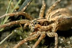 Hogna radiata, Gironde (MP7Aquit) Tags: macro nature animal spider wildlife sony 350 loup 28 alpha animaux tamron 90 araigne invertebrate arachnide tarentule invertebrado tamronspaf90mmf28dimacro invertbr radie invertebr
