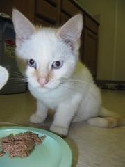 Sidney...still.... (Star Cat) Tags: rescue cat homeless shelter adopt sidney animalshelter spayandneuter hokafi