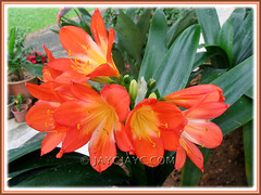 Clivia miniata (Bush Lily, Kaffir Lily), the usual orange-coloured variety at Cactus Valley, Cameron Highlands
