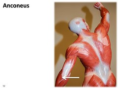 Anconeus, dynamic pose - Muscles of the Upper Extremity Visual Atlas, page 52 (Rob Swatski) Tags: york podcast college skeleton photo movement model education lab exercise arm body pennsylvania muscle muscular review creative commons system tendon medical upper organ study human elbow massage anatomy laboratory posterior learning atlas bone guide extension practice therapy visual biology harrisburg skeletal wiki clinical physiology connective kinesiology physicaltherapy hacc itunesu musculoskeletal anconeus swatski robswatski biogeekiwiki biol121