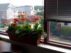 plants for my cube: gerbera daisies
