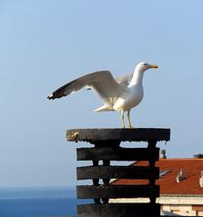 Il mio vicino di casa si trasferir a Torino (fotomie2009 OFF) Tags: bird wings mediterraneo seagull ali gabbiano reale larus zampe larusmichahellis michahellis gialle gabbianoreale gabbianorealezampegialle zampegialle