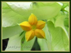 Inconspicuous starry flower of Mussaenda philippica 'Aurorae' (White Mussaenda, Tropical Dogwood, Virgin Tree)