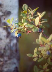 o o o  o o (miemo) Tags: summer plant tree nature closeup forest finland berry europe bokeh olympus blueberry ep1 birk mntyharju omzuiko50mmf14 gettyimagesfinlandq1 summertimefinland