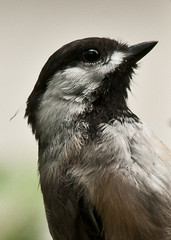closer (nosha) Tags: white black bird eye beautiful beauty bokeh feather august chickadee avian 2010 lightroom nosha nikoncorporation nikond300 0mmf0 1160secatf80