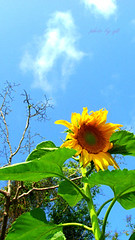 flower 葵