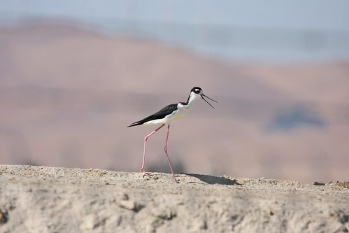 black neck stilt dave harper oakley