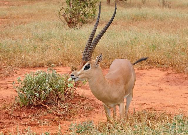 Gazella granti - Grant's Gazelle - Gazelle de Grant (♂) - 22/02/10