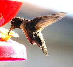 Hummingbird at nectar feeder (California Dreams Photography) Tags: california bird birds losangeles hummingbird feeder nectar hummingbirds southerncalifornia smallbirds hummingbirdfeeder naturephotography birdphotography littlebirds colorfulbirds hummingbirdinflight hummingbirdnectar hummingbirdatfeeder hummingbirdphotography hummingbirdfeeding hummingbirdsfeeding californiadreamsphotographycom hummingbirdsflying hummingbirdmerchandise californiadreamsphotography