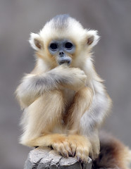 Golden monkey (floridapfe) Tags: baby cute animal zoo monkey golden korea monkeys everland  goldenmonkey naturesfinest floridapfe naturesgreenpeace