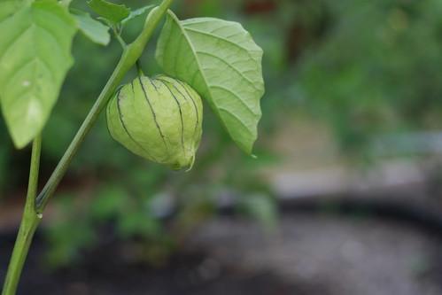 the single tomatillo