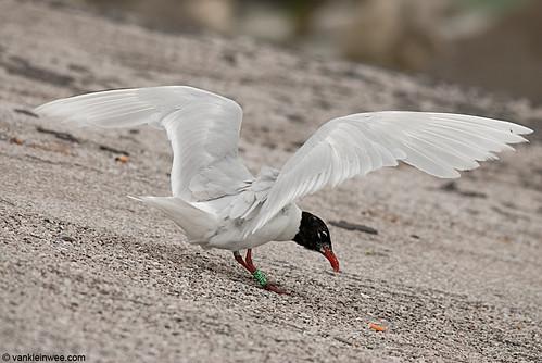 Mediterranean Gull, Adult, G[R12P]
