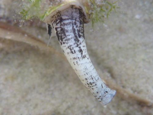 Crown Conch proboscis