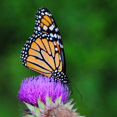 The Monarch (m i c h e l e j e n s e n [photography]) Tags: pink summer orange flower nature butterfly polkadots spots monarch dots migration monarchbutterfly updatecollection ucreleased