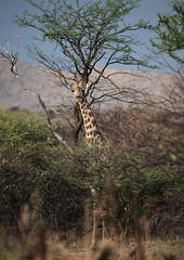 Standing tall (Sandeep Thoppil) Tags: africa travel wild holiday canon creative reserve safari 5d giraffe moment namibia windhoek creativemoment