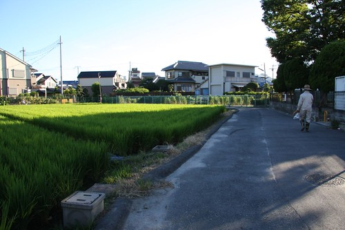 The growth of the rice growing