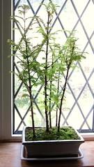 IMG_2933 (BadOlo) Tags: tree forest group bonsai redwood dawnredwood metasequoiaglyptostroboides