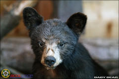 Bear Cub (BCOL CCCP) Tags: bear baby canada black nature vancouver island photo wildlife canadian urso cccp bruin phography bcol
