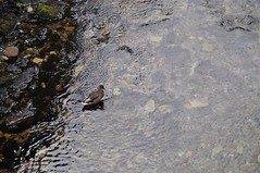 Duck in the Water (crwilliams) Tags: grasmere lakedistrict cumbria date:day=3 date:month=august date:wday=tuesday date:hour=11 date:year=2010