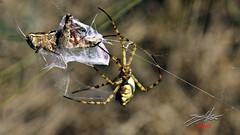 Gotcha!!! (DaLMaTiNo) Tags: spider fight action croatia grasshopper spinne supetar skakavac 2010 hrvatska hrv argiope dalmatia dalmacija kroatien araneae heuschrecke lobed mittelmeer borba pauk lobata dalmatien araneidae radnetzspinne araneomorphae entelegynae dalmatino argiopelobata araneoidea mittelmeerraum argiopinae wonderfulworldofmacro lobedargiope