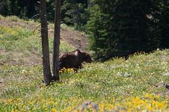 Grizzly Bear (Cory Hames) Tags: bear usa animals nationalpark mt yellowstone wy