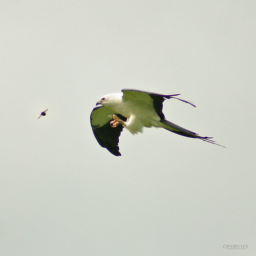 Swallow-Tailed Kite 15