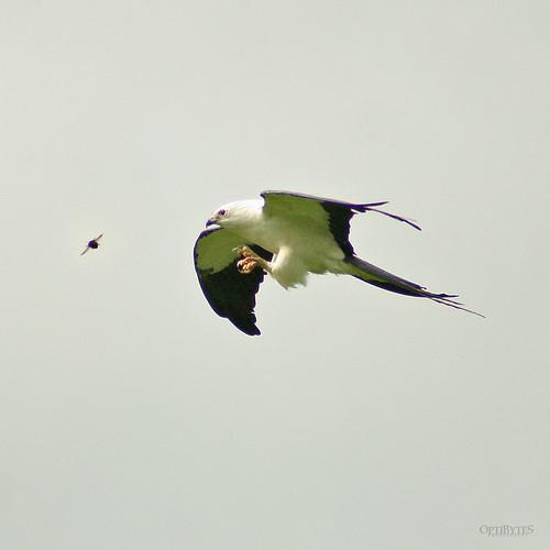 Swallow-Tailed Kite 15