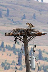 Osprey 13 (LongInt57) Tags: blue brown white motion green bird lines birds grey fly flying wings movement wire power nest transformer action gray wing cable line pole powerlines cables raptor wires transformers powerline poles powerpole raptors osprey ospreys nests aerie powerpoles aeries